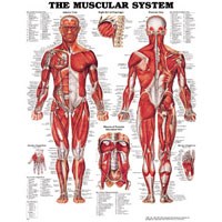 Anatomical Educational Posters